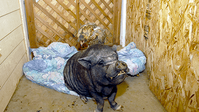 Pig and a Blanket